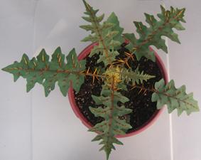 Solamum pyracanthum